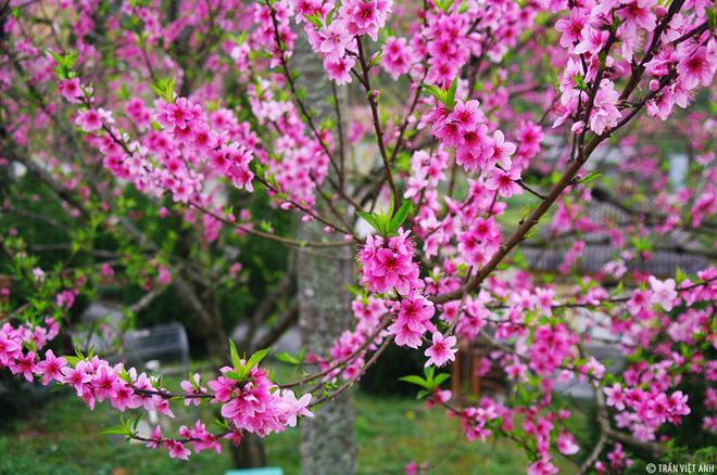5 địa điểm đẹp nhất để ngắm hoa đào, hoa mận mùa xuân ở Việt Nam